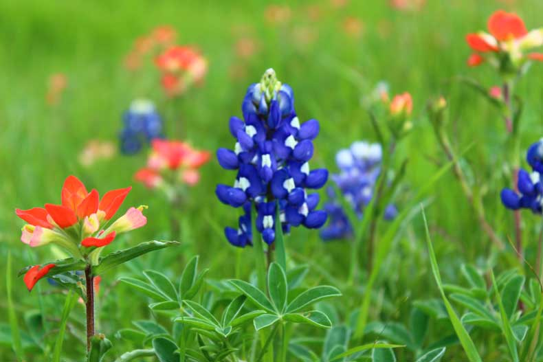 Texas Bluebonnets blooming