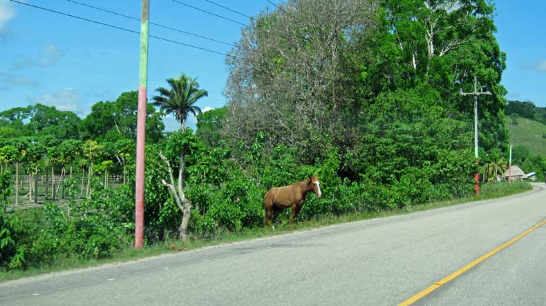 Weird things you'll see in Belize and Guatemala - livestock on side of road