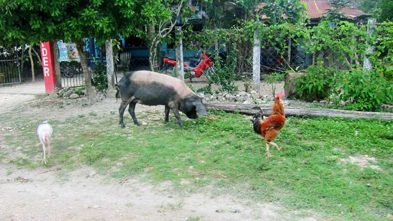Guatemalan and Belizean culture - farm animals roaming free