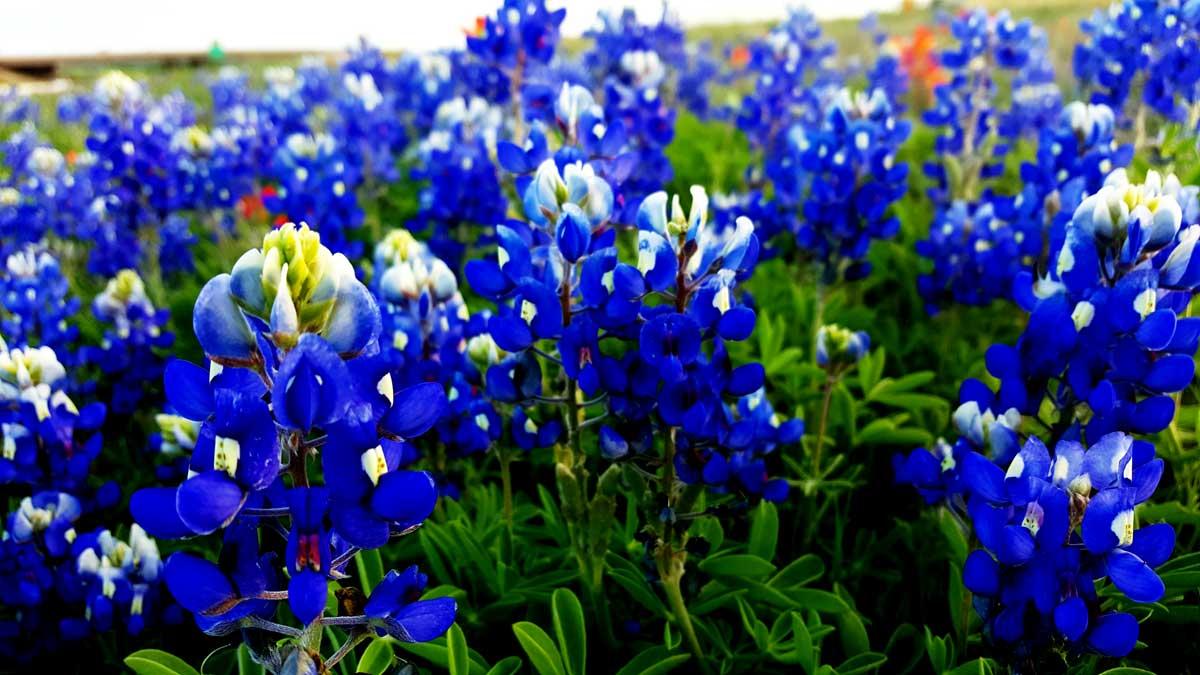 Oklahoma wild flowers bluebonnets