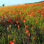 Oklahoma Wildflowers: Visiting the flyover state in spring