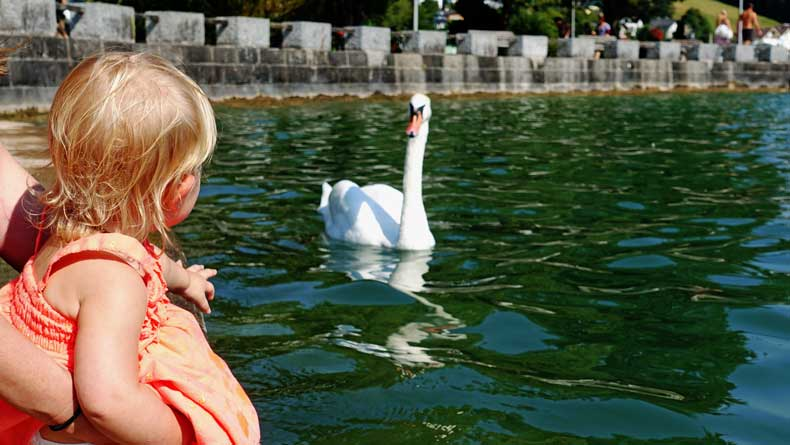 A child watches a swan on the water at Lake Mondsee
