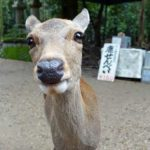 The Nara Park deer and other things to see in Nara, Japan