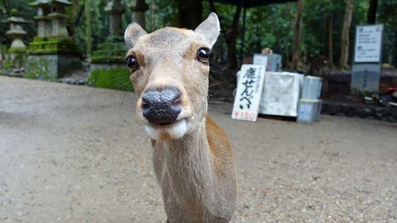 Nara Park deer - Nara, Japan