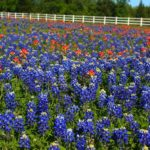 Ennis Bluebonnet Trails - the best wildflower route in Texas