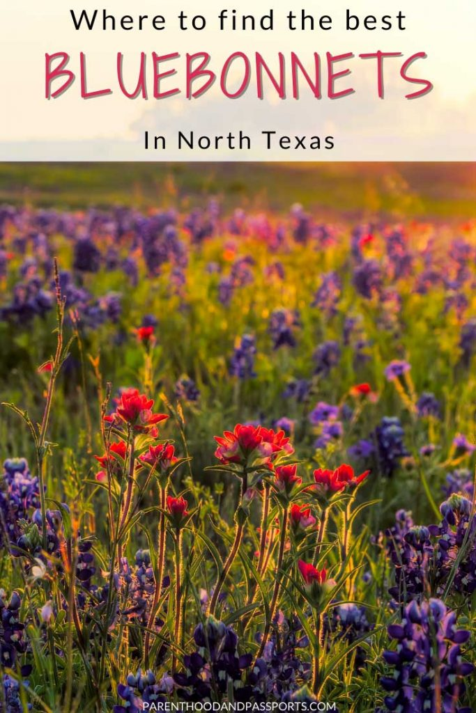 The Texas bluebonnets are a spring tradition in the Lone Star State. This guide to the Ennis Bluebonnet Trails details where to find the best bluebonnet fields in North Texas and what to do along the route. #texas #usatravel #texastravel
