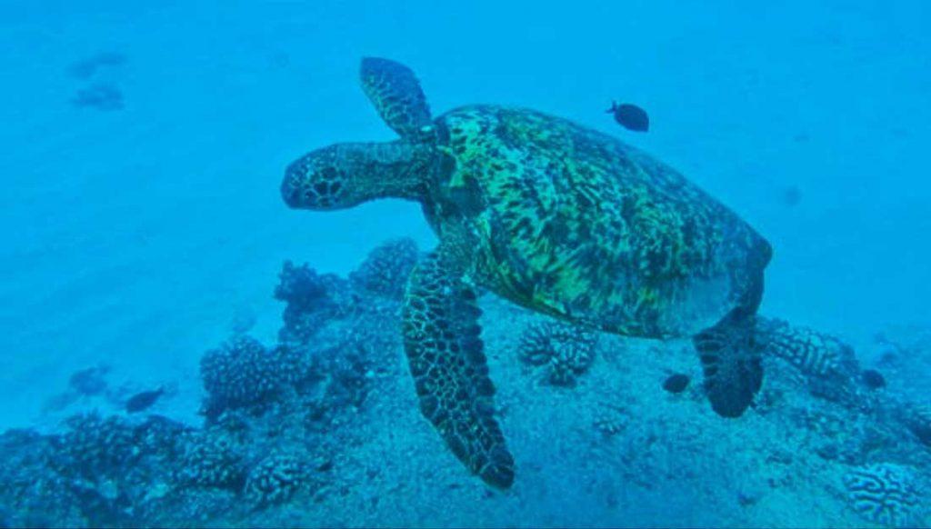 Oahu swim with sea turtles