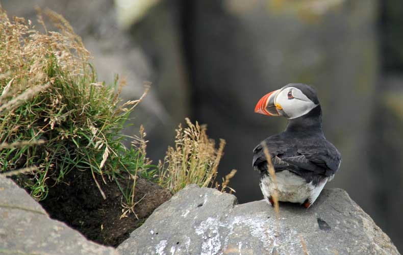 A puffin found in Iceland.