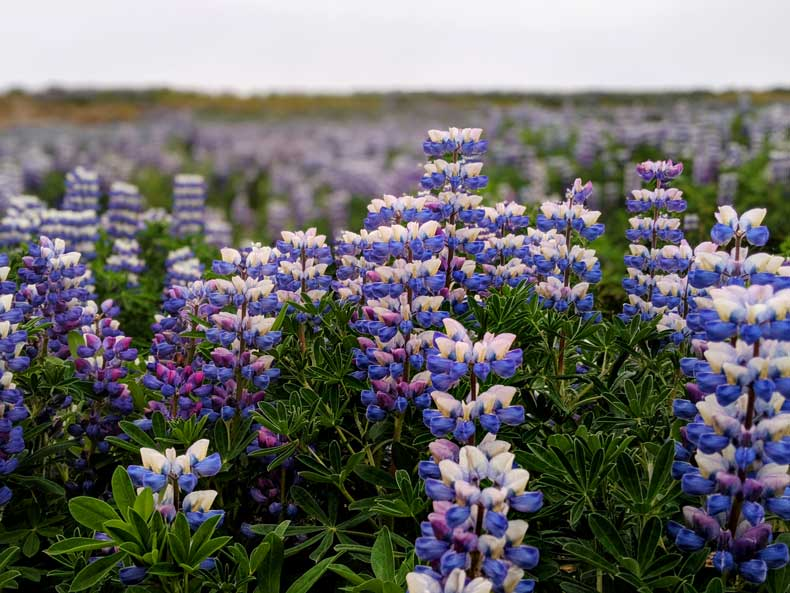 Iceland wildflowers. One of the fun facts about Iceland: lupines are not native to the country but have spread throughout it.