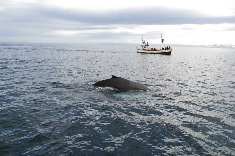 iceland whaling and whale watching