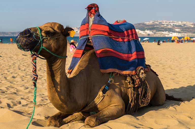 a camel on a beach in Morocco