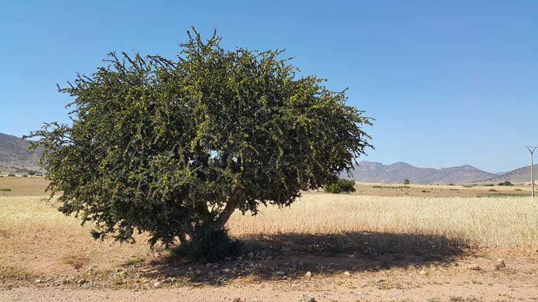 An argan tree in Morocco, where argan oil comes from.