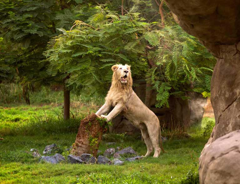 lion at Dubai Safari Park