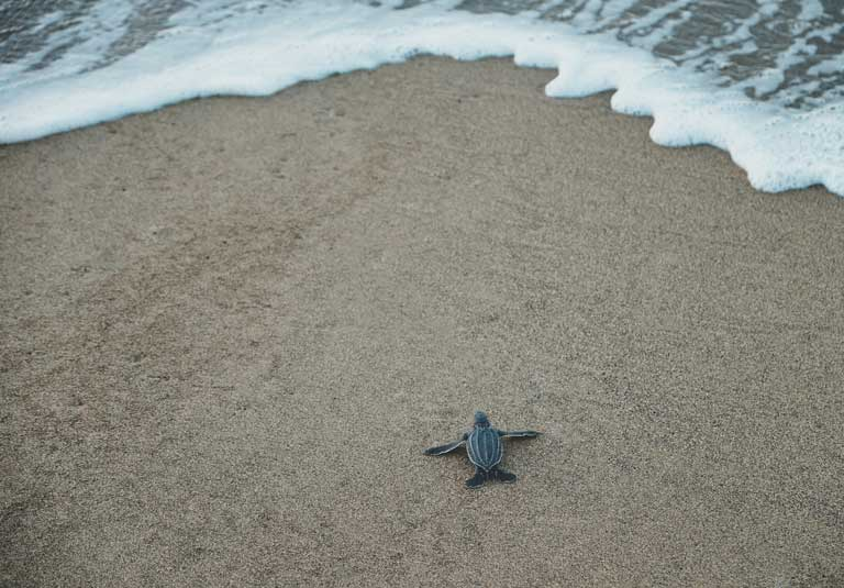 sea turtle hatchling on a beach in Rincon Puerto Rico